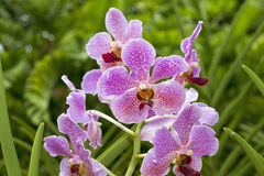 Singapore orchids Stock Photos