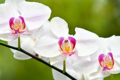 Singapore orchids species. 226 orchid species represented by some 60 genera were recorded in Singapore. About 75% of the country`s orchids are epiphytes and the royalty free stock image