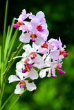 Singapore orchids species. 226 orchid species represented by some 60 genera were recorded in Singapore. About 75% of the country`s orchids are epiphytes and the stock image