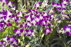 Singapore orkidér Arkivfoton