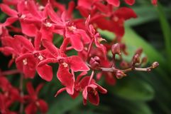 Singaporean red orchids blooming Stock Images
