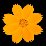 Singapour jaune Daisy Wildflower Isolated sur le noir Photographie stock libre de droits