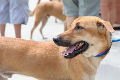 Singapur-Bastard-Hund Lizenzfreie Stockbilder