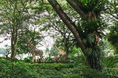 SINGAPUR - 19. JANUAR 2016: wilde Giraffen im natürlichen Lebensraum unter Bäumen stockbild