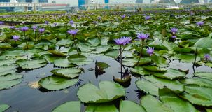 SINGAPUR, SINGAPUR - 6. Mai 2017: Lotus-Teich auf der Marina Bay Sands-Promenade stockfoto