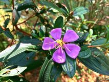 Singapur-Rhododendron (Melastoma malabathricum) Stockfotografie