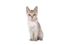 小猫singapura 免版税库存图片