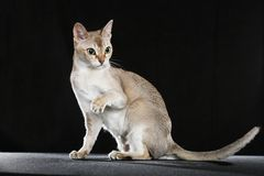 Singapura cat Stock Photo