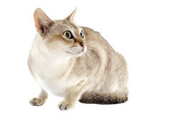 Singapura cat. Portrait of a purebred  singapura cat on a white background Stock Images