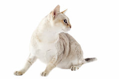 Singapura cat. Portrait of a purebred  singapura cat on a white background Royalty Free Stock Photo