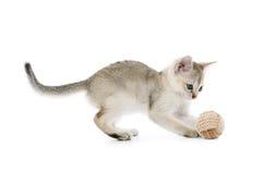 Singapura Kätzchen mit Kugel stockbild