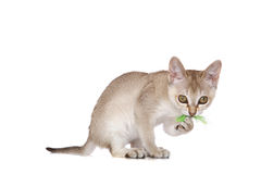 Singapura kitten. Playing with a feather on white background Stock Photos