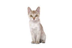 Singapura kitten Royalty Free Stock Image