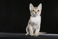 Singapura kitten Royalty Free Stock Photo
