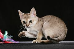 Singapura kitten Stock Photo