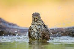 Singdrossel - Turdus philomelos Lizenzfreies Stockbild