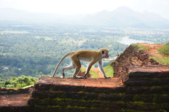 Singe à la forteresse de roche de Sigiriya, Sri Lanka image libre de droits