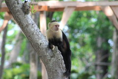Singe à tête blanche de capucin Photos libres de droits