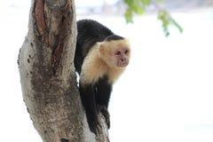 Singe à tête blanche de capucin Photo stock