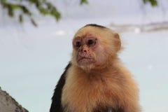 Singe à tête blanche de capucin Photographie stock