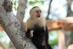 Singe à tête blanche de capucin Image libre de droits