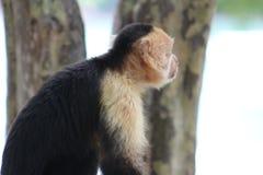 Singe à tête blanche de capucin Photo libre de droits