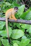 Singe-écureuil Photos libres de droits