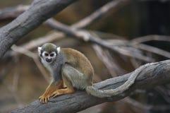 Singe-écureuil commun Photos libres de droits
