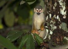Singe-écureuil commun Image libre de droits