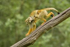 Singe-écureuil commun - sciureus de Saimiri image libre de droits