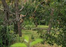 Singe-écureuil commun sur l'arbre Photos stock