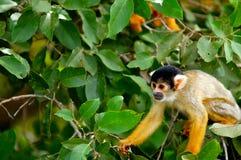 Singe-écureuil dans la jungle bolivienne Image libre de droits