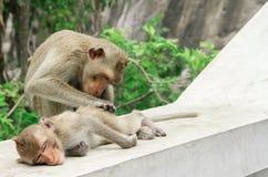Singe, singe, singe-écureuil, forêt tropicale tropicale, animal Image stock