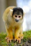 Singe-écureuil mignon Image libre de droits