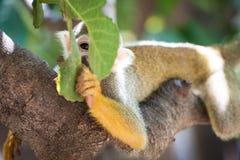 Singe-écureuil mignon regardant par espièglerie par des feuilles image stock