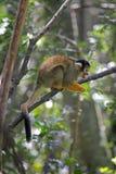 singe-écureuil Noir-couvert (boliviensis de Saimiri) Image stock