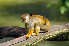 Singe-écureuil se reposant sur une branche d'arbre Photographie stock libre de droits