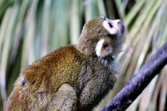 Singe-écureuil, singes du nouveau monde image stock