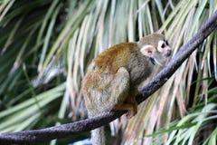 Singe-écureuil, singes du nouveau monde, zoo de Phoenix, Phoenix, Arizona photos stock