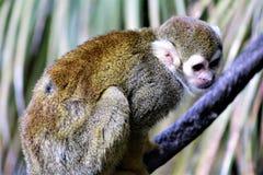 Singe-écureuil, singes du nouveau monde, zoo de Phoenix, Phoenix, Arizona image libre de droits