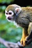Singe-écureuil, singes du nouveau monde, zoo de Phoenix, Phoenix, Arizona photographie stock