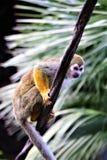 Singe-écureuil, singes du nouveau monde, zoo de Phoenix, Phoenix, Arizona images libres de droits