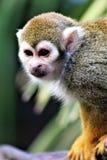 Singe-écureuil, singes du nouveau monde, zoo de Phoenix, Phoenix, Arizona photo stock