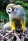 Singe-écureuil, singes du nouveau monde, zoo de Phoenix, Phoenix, Arizona photographie stock libre de droits