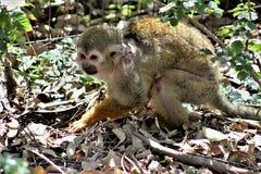 Singe-écureuil, singes du nouveau monde, zoo de Phoenix, Phoenix, Arizona image stock