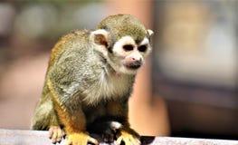 Singe-écureuil, singes du nouveau monde, zoo de Phoenix, Phoenix, Arizona photo libre de droits