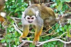 Singe-écureuil, singes du nouveau monde, zoo de Phoenix, Phoenix, Arizona photos libres de droits