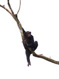 Singe 04 de chimpanzé Image stock
