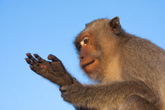 Singe Photographie stock
