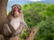 Singe adulte se reposant dans l'arbre et posant sur la caméra avec les arbres verts au fond image stock